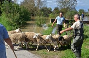 ovce spasavane camcem (3)